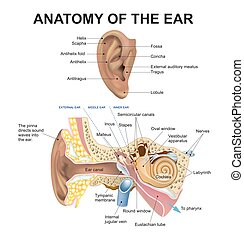 anatomy of the ear - The human ear consists of three parts...