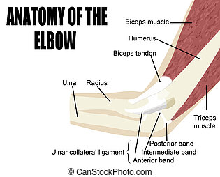 Anatomy of the elbow, bones & muscles of the arm - Useful...