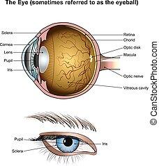 Anatomy of the Eyes.