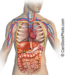 the human body - Anatomy of the human body with different...