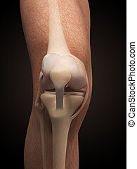 Anatomy of the knee - 3d rendered illustration - anatomy of...