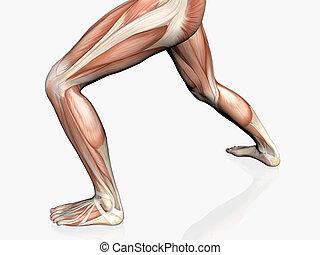 Anatomy of the man, muscular man. - Anatomically correct ...