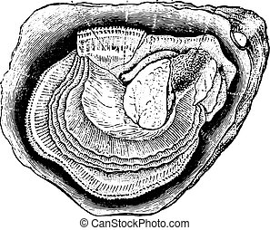 Anatomy of the oyster, vintage engraving.