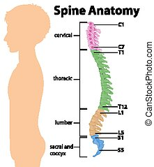 Anatomy of the spine or spinal curves infographic