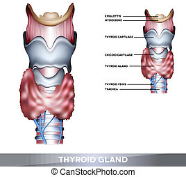 Thyroid gland - Anatomy of Thyroid gland, Epiglottis,...