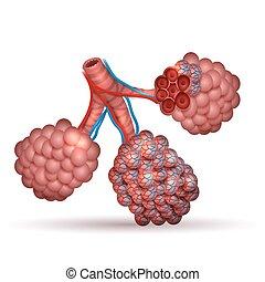 anatomy-, oxygène, poumons, minuscule, air, alvéoles, ...