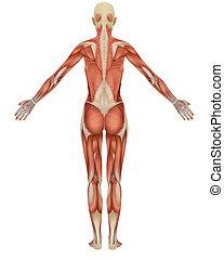 anatomy., retro, femmina, muscolare, vista