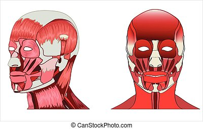 Anatomy side and front view of major face muscles of a man