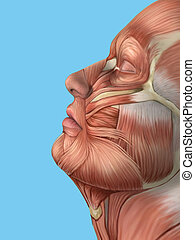 Anatomy side view of face muscles