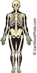 anatomy., skelet, menneske