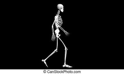 Anatomy: skeleton