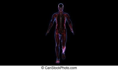 anatomy:, squelette, peau, muscules