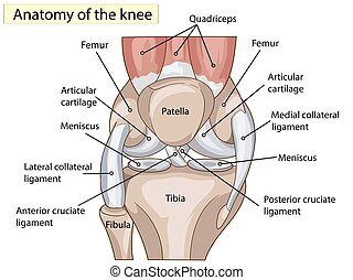 Anatomy. Structure knee joint vector
