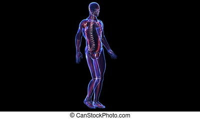 anatomy:, szkielet, skóra, muscules
