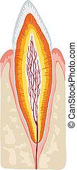 anatomy teeth