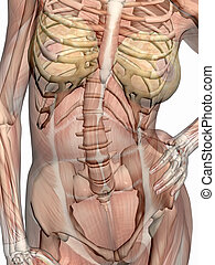Anatomy, transparnt muscles with skeleton. - Anatomically...