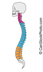 Anatomy vertebral column - Illustrated human section of...