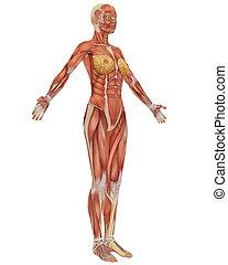 anatomy., vista, femmina, muscolare, lato