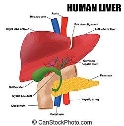 anatomyof, fígado, human