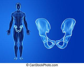 anca, osso umano