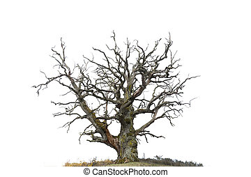 oak tree isolated on white - ancient bare oak tree isolated...