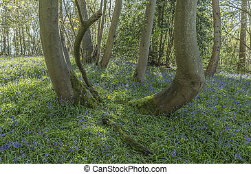 Ancient Bluebell Wood