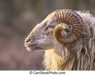 Ancient breed of long-tailed sheep - Ram of ancient breed of...