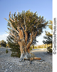 Ancient Bristlecone Pine Forest - a protected area high in...