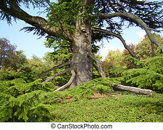 250 year old Cedar-of-Lebanon tree (Cedrus lisbani) located in the park at Chateau Hautefort, France