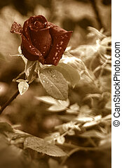 ancient flower background - red rose bud with water drops of...