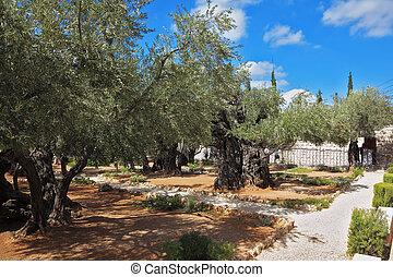 Ancient garden of Gethsemane - Ancient Jerusalem. Small...