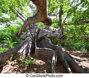 ancient kapok tree - very old kapok tree with mystery roots...