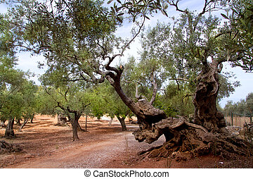 Ancient mediterranean olive trees from Majorca island