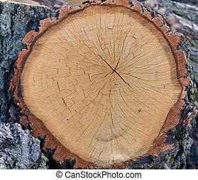 Ancient Oak Section