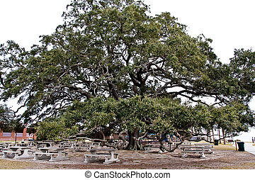 Ancient Oak Tree Over Picnic Grounds