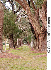 Ancient Oaks in Rows
