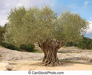 Ancient olive tree - an ancient olive tree in Provence