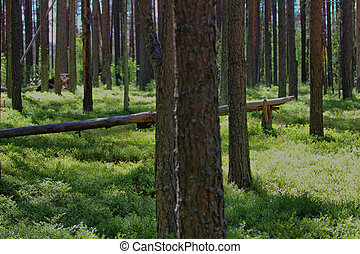 Old pine forest, in sun gleam leaves of bilberry. Healthy lifestyle