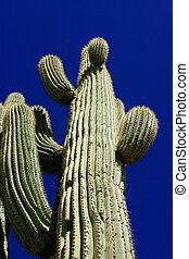Ancient Saguaro