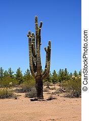 Ancient and old Saguaro Cactus cereus giganteus in Arizona Sonora desert