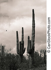 Ancient Saguaro - Duo tone saguaros and eagle represent the ...
