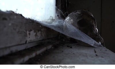 Ancient Skull in an abandoned house with a cobweb. 4k, copy...