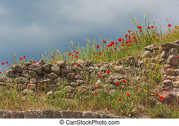 Ancient stone wall with blooming red poppies flowers