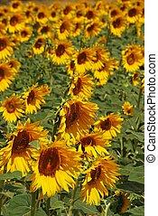 andalusia, spain., zonnebloemen