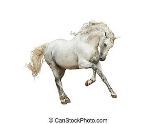 andalusian, biały koń, odizolowany