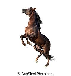 andalusian, bruin paard, witte , vrijstaand