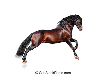 andalusian, caballo, aislado