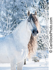 andalusian, caballo blanco, invierno, retrato