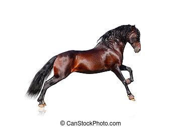 andalusian, cavallo, isolato