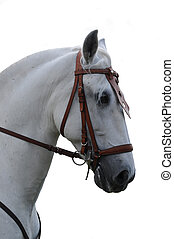 Andalusian Horse - Beautiful head of an purebred andalusian...
